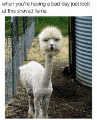 Bad, Bad Day, and Memes: when you're having a bad day just look  at this shaved llama
