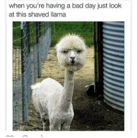 Mehhhhhh: when you're having a bad day just look  at this shaved llama Mehhhhhh