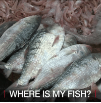 Food, Memes, and Fish: WHERE IS MY FISH? 11 May: Hilsa, a kind of Indian herring, has been a staple food in Myanmar and Bangladesh for centuries. It is also one of Myanmar's most popular exports. But due to overfishing and water pollution, hilsa stocks are depleting fast. Find out more: bbc.in-hilsa hilsa Myanmar fish Bangladesh BayofBengal BBCShorts BBCNews @BBCNews