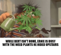 Weed: WHILE BERT ISN'T HOME, ERNIE IS BUSY  WITH THE WEED PLANTS HE HIDED UPSTAIRS