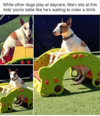dogs playing: While other dogs play at daycare, Marv sits at this  kids' picnic table like he's waiting to order a drink.