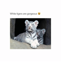 Gorgeous, Tiger, and Tigers: White tigers are gorgeous you know who else is gorgeous? not you !