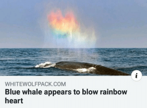 Probably a sperm whale: WHITEWOLFPACK.COM  Blue whale appears to blow rainbow  heart Probably a sperm whale