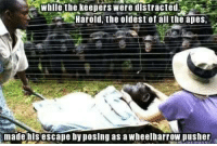 "Dank, Meme, and Book: whlle the keepers were distrcted  Harold the oldest ofall the apes  made hisescape by posing as a wheelbarrow pusher <p>Oldest trick in the book via /r/dank_meme <a href=""http://ift.tt/2zMOodR"">http://ift.tt/2zMOodR</a></p>"