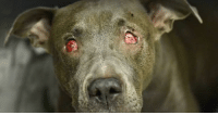 WHO DID THIS? Samantha eyes are destroyed from abuse. Worse yet her wounds are fresh. You won't believe what doctors found next... Keep Reading : http://dogco.org/save-samantha: WHO DID THIS? Samantha eyes are destroyed from abuse. Worse yet her wounds are fresh. You won't believe what doctors found next... Keep Reading : http://dogco.org/save-samantha