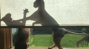 Who needs a fancy play when you own a Sphynx: Who needs a fancy play when you own a Sphynx