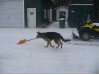 Who needs to hire a neighborhood kid to shovel snow when the dog will do it for free! LOL!!! This dog loves HIS job!