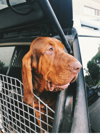 Cute, Today, and Got: Who says you got to be small to be cute. Bloodhound for the sheriffs department.
