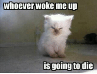 angry cat (320 x 240): whoever woke me up  is going to die angry cat (320 x 240)