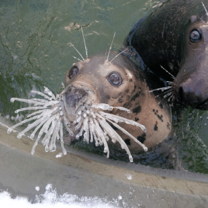 why-animals-do-the-thing: awwww-cute: Seal Ania confused by what the hell happened to her whiskers (it's -10C/14F in Poland right now) (Source: http://ift.tt/2F3mBoL) You know it's cold out when salt water starts freezing.  …real talk, though, that's just how seal faces look - she's not surprised, just awake. : why-animals-do-the-thing: awwww-cute: Seal Ania confused by what the hell happened to her whiskers (it's -10C/14F in Poland right now) (Source: http://ift.tt/2F3mBoL) You know it's cold out when salt water starts freezing.  …real talk, though, that's just how seal faces look - she's not surprised, just awake.