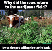 Marijuana: Why did the cows return  to the marijuana field?  It was the pot calling the cattle back.