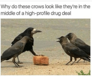 Crows selling bricks by MY_NAME_IS_JET MORE MEMES: Why do these crows look like they're in the  middle of a high-profile drug deal Crows selling bricks by MY_NAME_IS_JET MORE MEMES