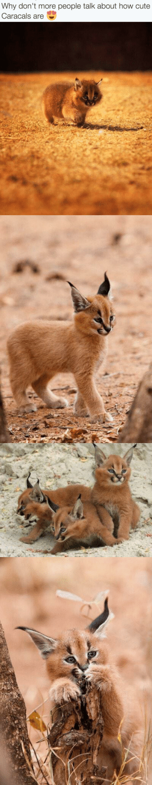 Im going to faint OMG: Why don't more people talk about how cute  Caracals are Im going to faint OMG