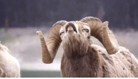 Why is this goat not a meme yet