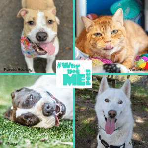 It's #TongueOutTuesday! Featuring the #WhynotMEpets cuties Ronda Rousey (available at PAWS - Progressive Animal Welfare Society), Veronica (available at Auburn Valley Humane Society), Yukon (available at Humane Society of Skagit Valley), and Baby (available at Pasado's Safe Haven)! Find out more about these sweet pups (and kitty) via our website and their rescue/shelter's page today! #adopt Dirtie Dog Photography Pet Connection Magazine Healthy Paws Pet Insurance:  #Why  Ronda Rouseu  Ba It's #TongueOutTuesday! Featuring the #WhynotMEpets cuties Ronda Rousey (available at PAWS - Progressive Animal Welfare Society), Veronica (available at Auburn Valley Humane Society), Yukon (available at Humane Society of Skagit Valley), and Baby (available at Pasado's Safe Haven)! Find out more about these sweet pups (and kitty) via our website and their rescue/shelter's page today! #adopt Dirtie Dog Photography Pet Connection Magazine Healthy Paws Pet Insurance