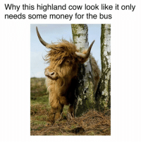 I need about tree fiddy $$(@borrowedmemes): Why this highland cow look like it only  needs some money for the bus I need about tree fiddy $$(@borrowedmemes)