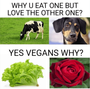 It's almost like among plants and animals somethings are bred for food and others are bread for comfort or aesthetic or companionship. Also this is very American-centric because some cultures do eat dog and happily so.: WHY U EAT ONE BUT  LOVE THE OTHER ONE?  YES VEGANS WHY? It's almost like among plants and animals somethings are bred for food and others are bread for comfort or aesthetic or companionship. Also this is very American-centric because some cultures do eat dog and happily so.