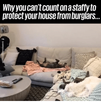 Dank, Dogs, and House: Why you can't count on a stafry to  protectyour house from burglars... Staffies are the world's worst guard dogs! 😂😂  The Blueboys