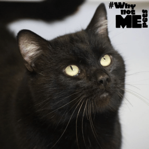 "#WhynotDave For #MeowMonday, we'd like to introduce you to Dave, a strikingly handsome 3 yr.old kitty available for adoption at Kitsap Humane Society! Dave enjoys a good chat so we're going to let him say a few things about himself (and he'd like you to tell all your friends about him too so he can find his purrfect furever home)! ""Hi, I'm Dave. I'm a talkative guy who loves pets, nuzzles, and belly rubs. I might be a little too sassy for young kids, so please no one under 6. Got laser pointers and fake mice? I'm there! Playing's my favorite! I live with FIV but it doesn't slow me down. I'll live a long life with a bit of extra care; have your people call my people to learn more!"" #WhynotMEpets #adopt #sharingiscaring #FIVcats #FIVcatsarepositivelyadoptable Pet Connection Magazine Healthy Paws Pet Insurance: #WhynotDave For #MeowMonday, we'd like to introduce you to Dave, a strikingly handsome 3 yr.old kitty available for adoption at Kitsap Humane Society! Dave enjoys a good chat so we're going to let him say a few things about himself (and he'd like you to tell all your friends about him too so he can find his purrfect furever home)! ""Hi, I'm Dave. I'm a talkative guy who loves pets, nuzzles, and belly rubs. I might be a little too sassy for young kids, so please no one under 6. Got laser pointers and fake mice? I'm there! Playing's my favorite! I live with FIV but it doesn't slow me down. I'll live a long life with a bit of extra care; have your people call my people to learn more!"" #WhynotMEpets #adopt #sharingiscaring #FIVcats #FIVcatsarepositivelyadoptable Pet Connection Magazine Healthy Paws Pet Insurance"