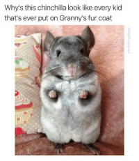 Memes, Never, and 🤖: Why's this chinchilla look like every kid  that's ever put on Granny's fur coat Don't act like you never did it.