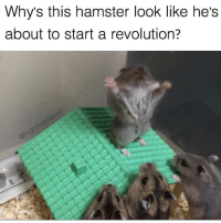 Memes, Hamster, and Revolution: Why's this hamster look like he's  about to start a revolution? @highfiveexpert and his hilarious memes tho 😭
