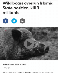 merica america usa fuckisis: Wild boars overrun Islamic  State position, kill 3  militants  John Bacon, USA TODAY  1 day ago  Three Islamic State militants setting up an ambush merica america usa fuckisis