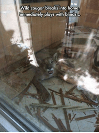 Cat is always a cat: Wild cougar breaks into home  immediately plays with blinds... Cat is always a cat