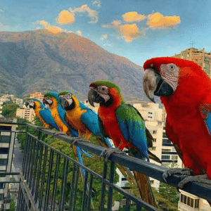 Wild macaws frequently visit balconies in Caracas: Wild macaws frequently visit balconies in Caracas