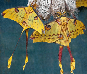 wildlifecollective-blog-blog:Comet MothArgema mittreiThe Comet moth or Madagascan moon moth is an African moth, native to the rain forests of Madagascar. The male has a wingspan of twenty centimeters and a tail span of fifteen centimeters, making it one of the world's largest silk moths. The female lays from 120-170 eggs, and after hatching the larvae feed on Eugenia and Weinmannia leaves for approximately two months before pupating. The cocoon has numerous holes to keep the pupa from drowning in the daily rains of its natural habitat. The adult moth cannot feed and only lives for 4 to 5 days. Although endangered in the wild due to habitat loss, the Comet moth is being successfully bred in captivity.Facts | Photo © Tony's Place: wildlifecollective-blog-blog:Comet MothArgema mittreiThe Comet moth or Madagascan moon moth is an African moth, native to the rain forests of Madagascar. The male has a wingspan of twenty centimeters and a tail span of fifteen centimeters, making it one of the world's largest silk moths. The female lays from 120-170 eggs, and after hatching the larvae feed on Eugenia and Weinmannia leaves for approximately two months before pupating. The cocoon has numerous holes to keep the pupa from drowning in the daily rains of its natural habitat. The adult moth cannot feed and only lives for 4 to 5 days. Although endangered in the wild due to habitat loss, the Comet moth is being successfully bred in captivity.Facts | Photo © Tony's Place