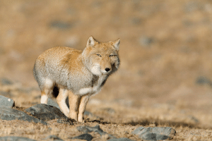 wildlifecollective-blog-blog:Tibetan FoxVulpes ferrilataTibetan foxes are small true foxes that live high up on the remote Tibetan plain where they form life-long partnerships. They live, hunt and share the responsibility of raising the young together. Kits stay with their parents until they are 8-10 months old, when they leave the den to find mates and home ranges of their own. Tibetan foxes are not overly territorial and many pairs live in close quarters and share hunting grounds.Facts | Photo © dirtroads: wildlifecollective-blog-blog:Tibetan FoxVulpes ferrilataTibetan foxes are small true foxes that live high up on the remote Tibetan plain where they form life-long partnerships. They live, hunt and share the responsibility of raising the young together. Kits stay with their parents until they are 8-10 months old, when they leave the den to find mates and home ranges of their own. Tibetan foxes are not overly territorial and many pairs live in close quarters and share hunting grounds.Facts | Photo © dirtroads