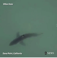 Abc, Anaconda, and Drone: William Steele  Dana Point, California  abc NEWS Watch out California rp @abcnews - Drone footage captures a great white shark swimming less than 100 yards from the shore of Dana Point, California. Shark @pmwhiphop -