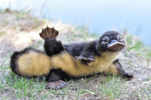 "winglessnymph: teknomagic:  sappyassmemes: just wanted to share this baby platypus Okay, this is a pet peeve of mine so I'm going to apologize first because I AM GOING TO GO OFF.  This is not a baby platypus. Baby platypus looks like this:  Source What we have here is a very cute and nicely done art doll made by a russian artist: As you can see, the first image in this post has misteriously lost the artist's watermarks. It happens a lot.  I can't remember how many times I've had to search for the source of these ""animal baby pics"" and post the correct version because the harm it does has layers. No, that baby animal don't look like that, it's misinformation even if the person sharing it has no ill intentions and believes it was the real deal. And there's an artist going uncredited and losing business because pics of their work are being circulated as ""the real thing"". Which they are not. Definitively not. Very cute, but not accurate.  By the way, the artist behind this platypus doll has a working etsy. Her name is Yulia Leonovich and she makes needle felt animal toys. It took me less than five minutes to find this information by doing an image search on google.   Reblogging for cute babies and proper art credit  shit i didn't know this thanks for adding!!: winglessnymph: teknomagic:  sappyassmemes: just wanted to share this baby platypus Okay, this is a pet peeve of mine so I'm going to apologize first because I AM GOING TO GO OFF.  This is not a baby platypus. Baby platypus looks like this:  Source What we have here is a very cute and nicely done art doll made by a russian artist: As you can see, the first image in this post has misteriously lost the artist's watermarks. It happens a lot.  I can't remember how many times I've had to search for the source of these ""animal baby pics"" and post the correct version because the harm it does has layers. No, that baby animal don't look like that, it's misinformation even if the person sharing it has no ill intentions and believes it was the real deal. And there's an artist going uncredited and losing business because pics of their work are being circulated as ""the real thing"". Which they are not. Definitively not. Very cute, but not accurate.  By the way, the artist behind this platypus doll has a working etsy. Her name is Yulia Leonovich and she makes needle felt animal toys. It took me less than five minutes to find this information by doing an image search on google.   Reblogging for cute babies and proper art credit  shit i didn't know this thanks for adding!!"