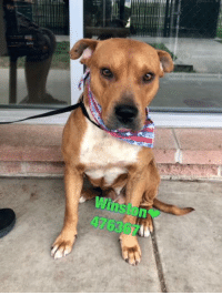 Dogs, Food, and Memes: Winston  476367 Email Placement@sanantoniopetsalive.org if you are interested in Adopting, Fostering, or Rescuing!  Our shelter is open from 11AM-7PM Mon -Fri, 11AM-5PM Sat and Sun.  Urgent Pets are at Animal Care Services/151 Campus. SAPA! is Only in Bldg 1 GO TO SAPA BLDG 1 & bring the Pet's ID! Address: 4710 Hwy. 151 San Antonio, Texas 78227 (Next Door to the San Antonio Food Bank on 151 Access Road)  **All Safe Dogs can be found in our Safe Album!** ---------------------------------------------------------------------------------------------------------- **SHORT TERM FOSTERS ARE NEEDED TO SAVE LIVES- email placement@sanantoniopetsalive.org if you are interested in being a temporary foster!!**