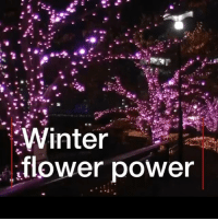 Beautiful, Life, and Memes: Winter  flower power These lovely cherry trees are getting a new lease of life. It's all thanks to donations of used oil, which are helping this Tokyo park twinkle before the spring blossoms arrive. beautiful nature japan tokyo tree recycle flower cherry light