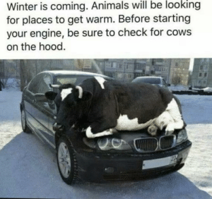 shittylifeprotips:SLPT Check for cows: Winter is coming. Animals will be looking  for places to get warm. Before starting  your engine, be sure to check for cows  on the hood. shittylifeprotips:SLPT Check for cows