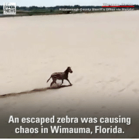 Friday, Memes, and News: Wirua  FOX  Hillsborough County Sheriff's office via Storyful  NEWS  An escaped zebra Was causing  chaos in Wimauma, Florida. A zebra on the loose caused a traffic crash in Wimauma, Florida on Friday. The zebra ran into the side of a Ford pickup truck before being corralled by police.