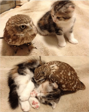 witchesversuspatriarchy:  You have had a rough year. Enjoy this owl and cat.: witchesversuspatriarchy:  You have had a rough year. Enjoy this owl and cat.