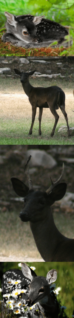"""witlovesyou:  A very unusual genetic color variation in white-tailed deer — rarer even than albinism — produces all-black offspring in that species which are known as """"melanistic"""" or """"melanic"""" deer.  : witlovesyou:  A very unusual genetic color variation in white-tailed deer — rarer even than albinism — produces all-black offspring in that species which are known as """"melanistic"""" or """"melanic"""" deer."""