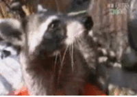 Wizard raccoon conjures up offering to his overlords: Wizard raccoon conjures up offering to his overlords