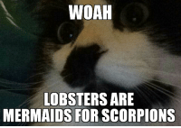 Cats, Reddit, and Mermaids: WOAH  LOBSTERS ARE  MERMAIDS FOR SCORPIONS Mindfuck Cat