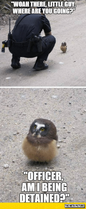 """laughoutloud-club:  An Owlet Goes For A Stroll: WOAH THERE LITTLEGUY  WHERE AREYOU GOING?  """"OFFICER  AM I BEING  DETAINEDP  THE META PICTURE laughoutloud-club:  An Owlet Goes For A Stroll"""