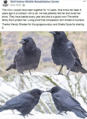 awesomacious:  Respect the crows ✋👏💖: Wolf Hollow Wildlife Rehabilitation Center  ILL Eilen 16.03  This Crow couple have been together for 12 years. She broke her beak 8  years ago in a collision with a car. He has patiently fed her and loved her  since. They have babies every year and she is a good mom The entire  family flock protect her. Living proof that compassion isn't limited to humans  Thanks Wendy Rhodan for this gorgeous story and Shelia Doyle for sharing  it.  WILDLIFF awesomacious:  Respect the crows ✋👏💖