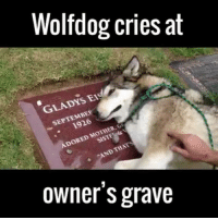 Memes, 🤖, and Mother: Wolfdog cries at  GLADYS EI  SEPTEMBE  1926  ADORED MOTHER, GP  SISTF  AND THATS  owner's grave 😢😢😢