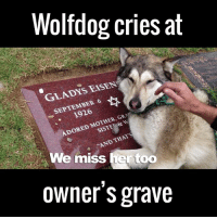 Crying, Dank, and Dogs: Wolfdog cries at  GLADYS ENSEN  SEPTEMBER 6  MOTHER  GRA  ADORED  & We miss ter too  owner's grave Nobody will ever love you like your dog. This is heartbreaking 🐶😢