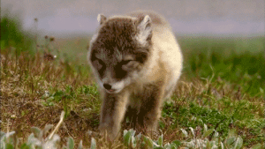 wolfeverything:  Omg I'm melting in its adorableness 😍 ❤️: wolfeverything:  Omg I'm melting in its adorableness 😍 ❤️