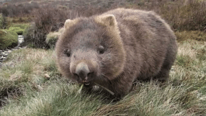 Wombat, Grass, and  Chewing: Wombat chewing on some grass