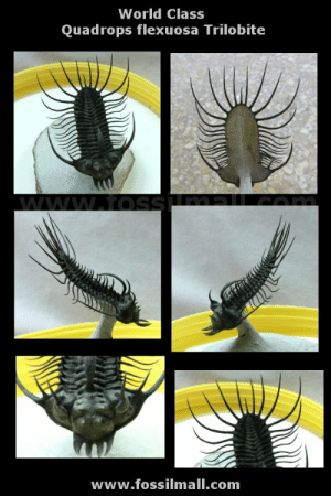 fossilmall:  Quadrops flexuosa Trilobite Prepared Free StandingQuadrops flexuosaTrilobites Order Phacopida, Family AcastidaeGeological Time : Middle DevonianSize (25.4 mm = 1 inch): Trilobite is 85 mm long by 53 mm wide (with spines) on a 75 mm by 65 mm matrixFossil Site: El Oftal Formation, Ofaten , MoroccoThis trilobite took 237 hours to complete by one of the foremost preparators in Morocco, a gentleman with 25 years of experience. See more of this incredible trilobite fossil at Fossil Mall.: World Class  Quadrops flexuosa Trilobite  www.fosSuma.comm  www.fossilmall.com fossilmall:  Quadrops flexuosa Trilobite Prepared Free StandingQuadrops flexuosaTrilobites Order Phacopida, Family AcastidaeGeological Time : Middle DevonianSize (25.4 mm = 1 inch): Trilobite is 85 mm long by 53 mm wide (with spines) on a 75 mm by 65 mm matrixFossil Site: El Oftal Formation, Ofaten , MoroccoThis trilobite took 237 hours to complete by one of the foremost preparators in Morocco, a gentleman with 25 years of experience. See more of this incredible trilobite fossil at Fossil Mall.