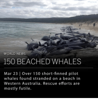 "Animals, Memes, and News: WORLD NEWS  150 BEACHED WHALES  Mar 23 | Over 150 short-finned pilot  whales found stranded on a beach in  Western Australia. Rescue efforts are  mostly futile. More than 150 short-finned pilot whales were found stranded on a beach in Western Australia. Although over 50 whales were already dead, Australian news outlets report that responders were able to pull some back to sea with large cranes. However, most of the whales could not be saved as the small whales weigh between one to six tons. ___ Scientist Nicola Hodgins from the Whales and Dolphins Conservation said this scenario is not a rarity and unfortunately happens quite often. She explains that whales are very social and close knit, and often form large groups that follow a matriarch. ""If one is sick, then the other whales don't want to leave their side,"" and often times sick whales cannot swim so get pulled onto shore. ""The other animals end up beaching as well because they don't want to leave them,"" Hodgins said. Another explanation for the stranding could be a disturbance underwater from sonic bombs caused from oil and gas exploration or military sonar. ___ Photo: Western Australia Department of Biodiversity Conservation and Attractions"