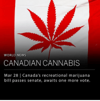 "Last Thursday (March 22) the Canadian senate voted 44 to 29 on the Cannabis Act (Bill C-45), sending the bill on for further review. The act would allow adults to grow and buy limited amounts of cannabis for recreational use. ___ The proposed bill allows the government to license ­cannabis farms by regulated producers as well as set standards of strength and penalties for abuse. The bill also includes an age requirement of 18 years to purchase. ___ Liberal Party Prime Minister Justin Trudeau addressed Canada's current policies hours before the vote saying, ""It does not protect our young people, and it sends billions per year to organized crime and street gangs. We need a new system."" The bill now awaits a final vote in June. ___ Photo: cannaporium: WORLD NEWS  CANADIAN CANNABIS  Mar 28 
