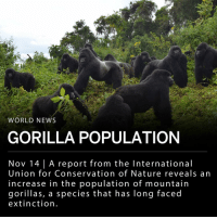 "Africa, Memes, and News: WORLD NEWS  GORILLA POPULATION  Nov 14 | A report from the International  Union for Conservation of Nature reveals an  increase in the population of mountain  gorillas, a species that has long faced  extinction. A report from the Switzerland-based International Union for Conservation of Nature (IUCN) reveals an increase in mountain gorilla population, moving the species' status from ""critically endangered"" to ""endangered."" ___ A member of the IUCN's primate specialist group, Tara Stoinski, said in a statement: - ""In the context of crashing populations of wildlife around the world, this is a remarkable conservation success."" ___ A decade ago, experts estimated the mountain gorilla population was 680, but it has now reached over 1,000. Mountain gorillas live in forests neighboring dormant volcanoes in east Africa. ___ The growth in the mountain gorilla population is attributed to an increase in enforcement of national park boundaries surrounding the primates' habitats. Tourism has also helped, as visitors pay to watch the gorillas, providing funding for park rangers. ___ Photo: Dian Fossey Gorilla Fund 